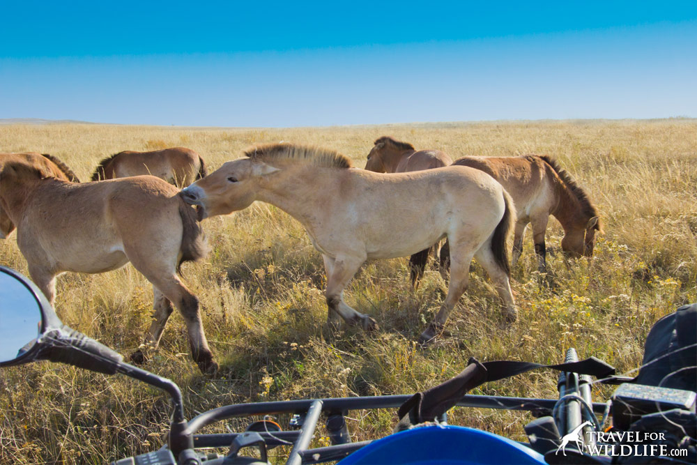 Female dominance display of Przewalski's Horses in Preduralskaya Steppe, Orenburg Reserve, Russia