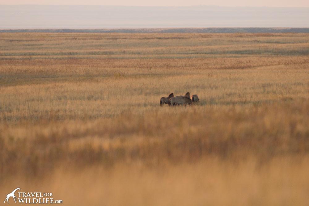 wild Przewalski's horses in Russia
