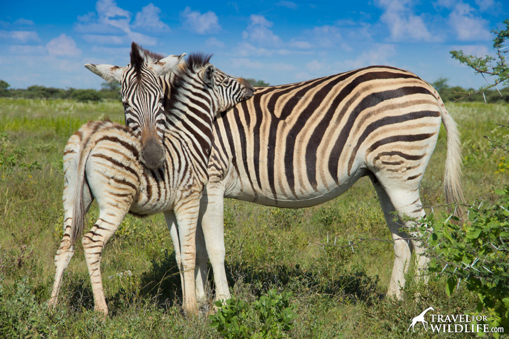 Zebra mother and foal manes, in Etosha National Park, Namibia