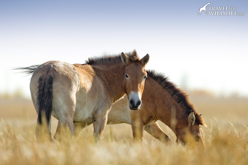 Wild Przewalski horses on the Russian steppe, Preduralskaya, Orenburg Reserves