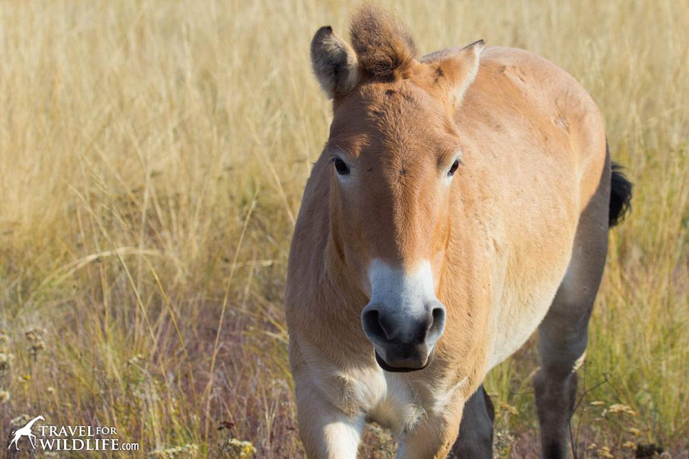 Portrait of Selena, Przewalski's Horse at Preduralskaya Steppe, Orenburg Reserve, Russia