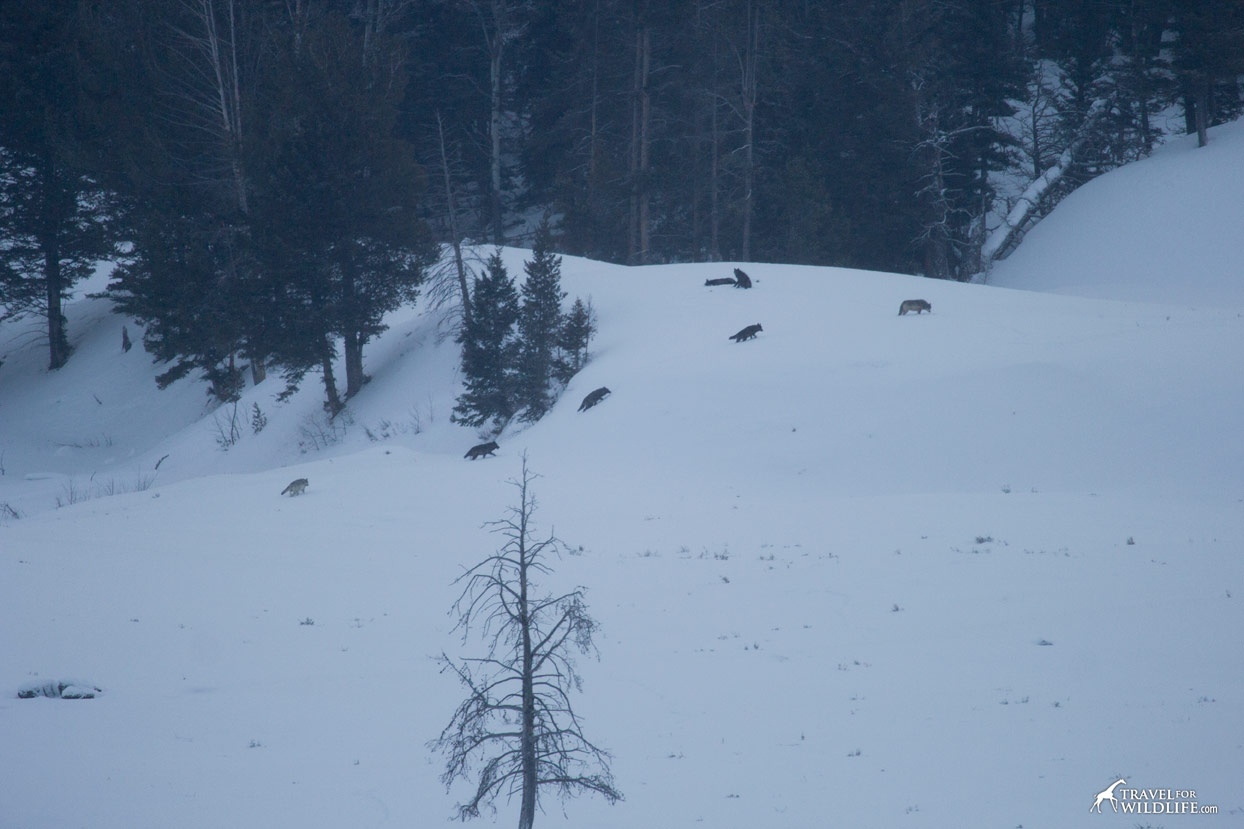 Wolves in Wolves in Yellowstone in the winter