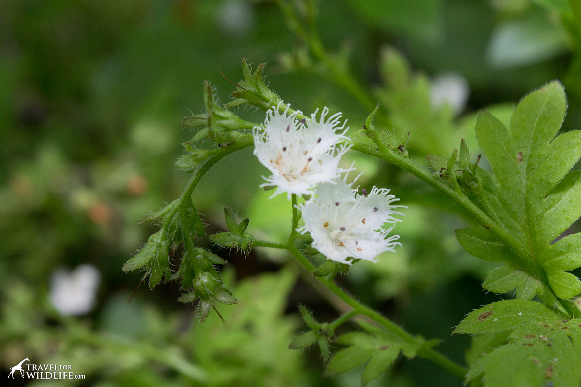 The flowers of the Fringed Phacelia blooming