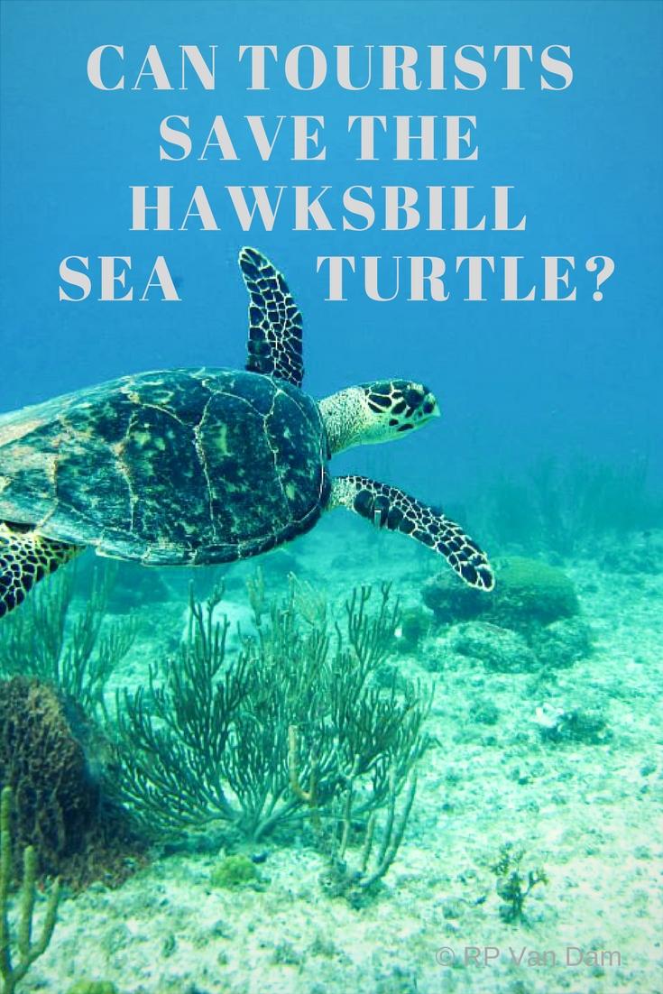 hawksbill swimming