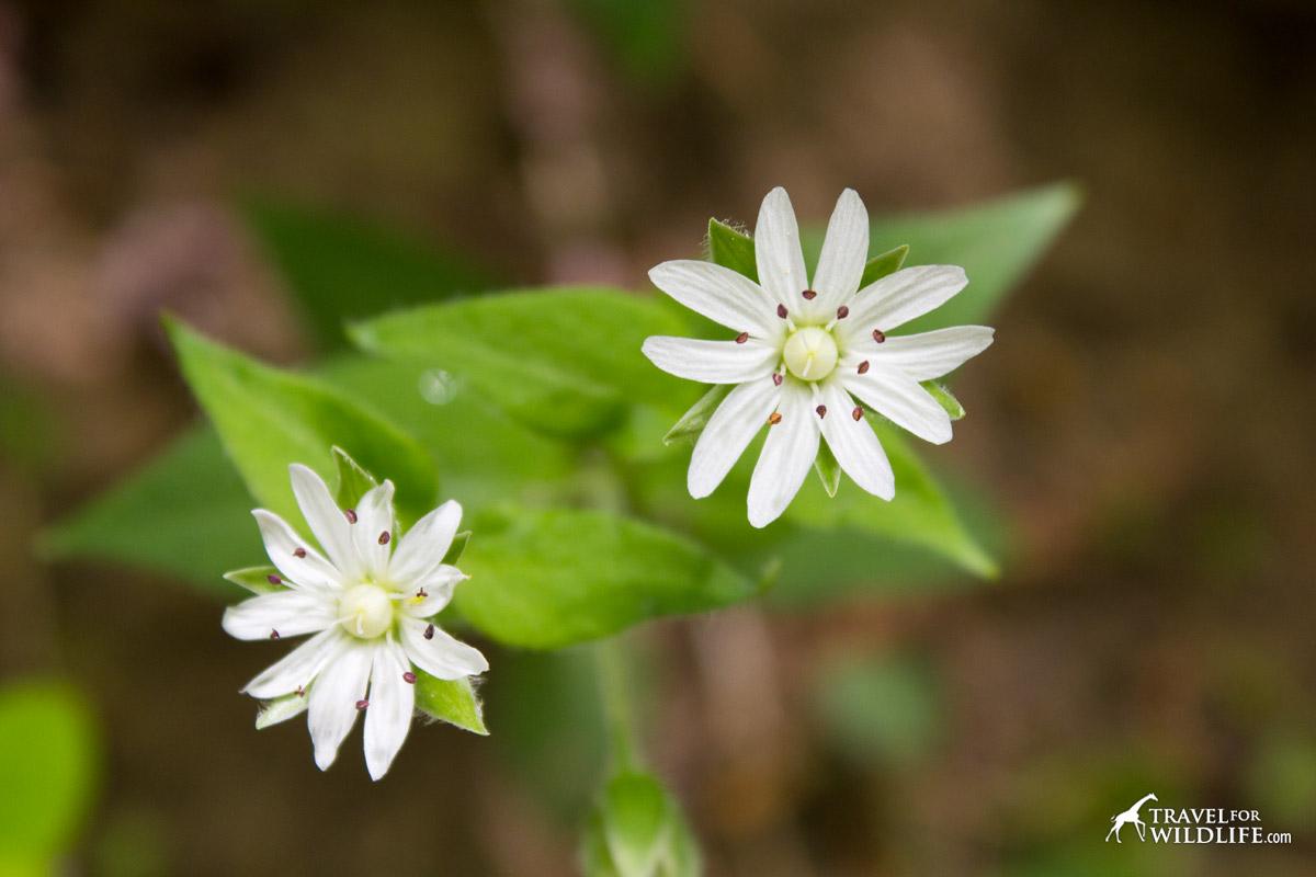 Star Chickweed flower