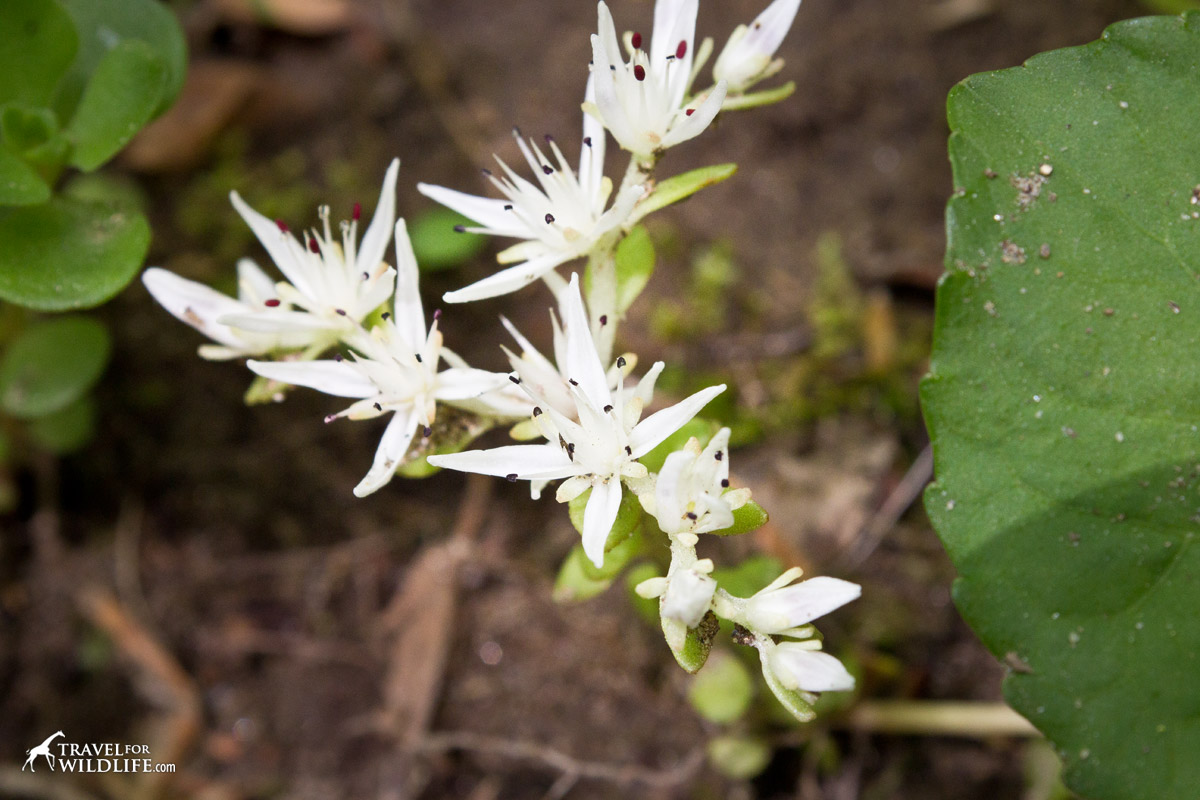 The white flowers of the Wild Stonecrop