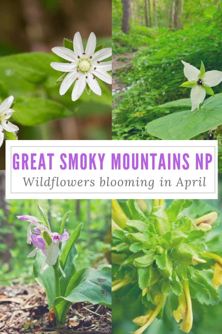 The Great Smoky Mountains National Park is the perfect place to go on a wildflower hunt. These are some of the wildflowers that bloom in April.