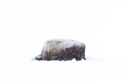 Bison in the snow in Yellowstone