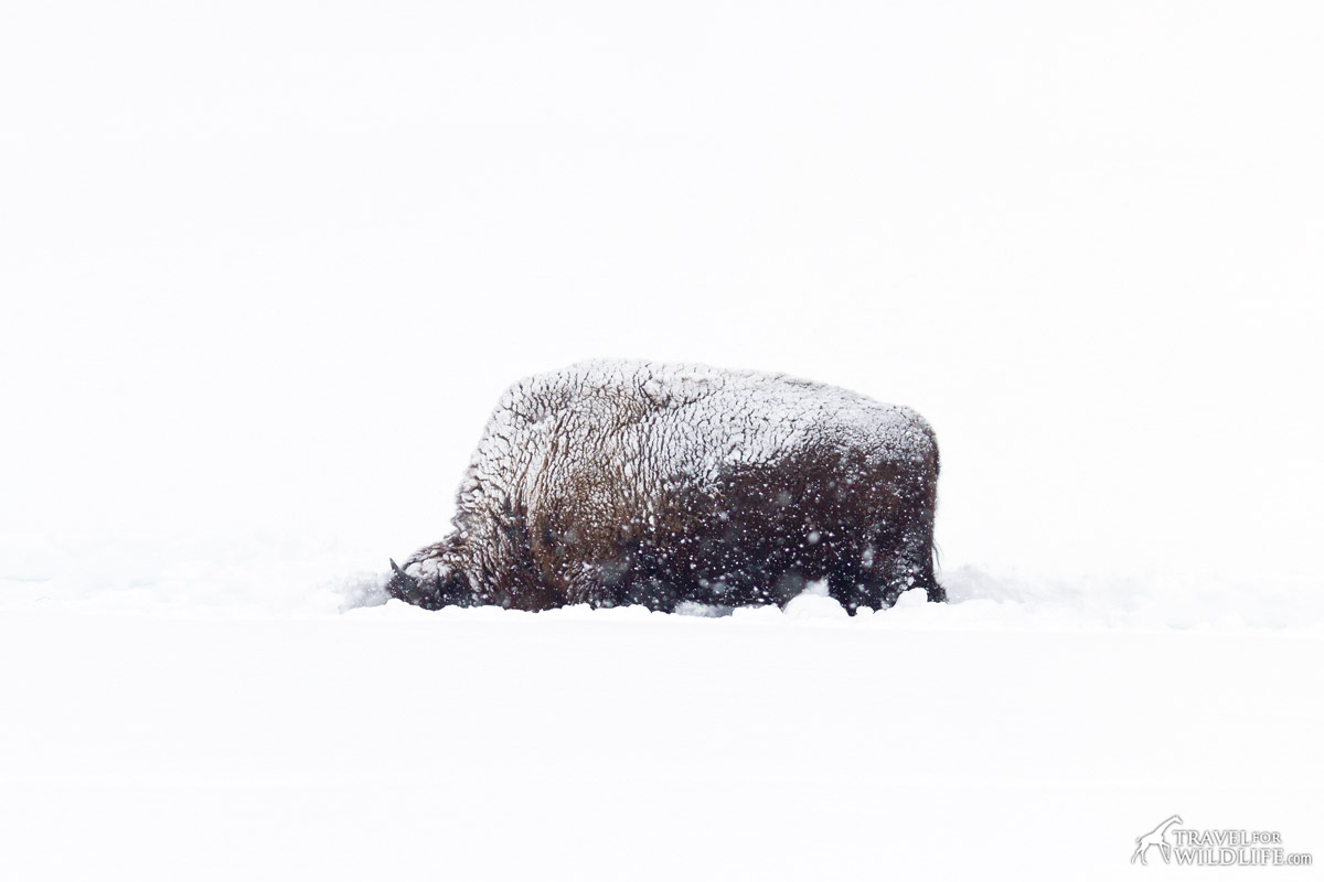 Bison feeding on a snowstorm