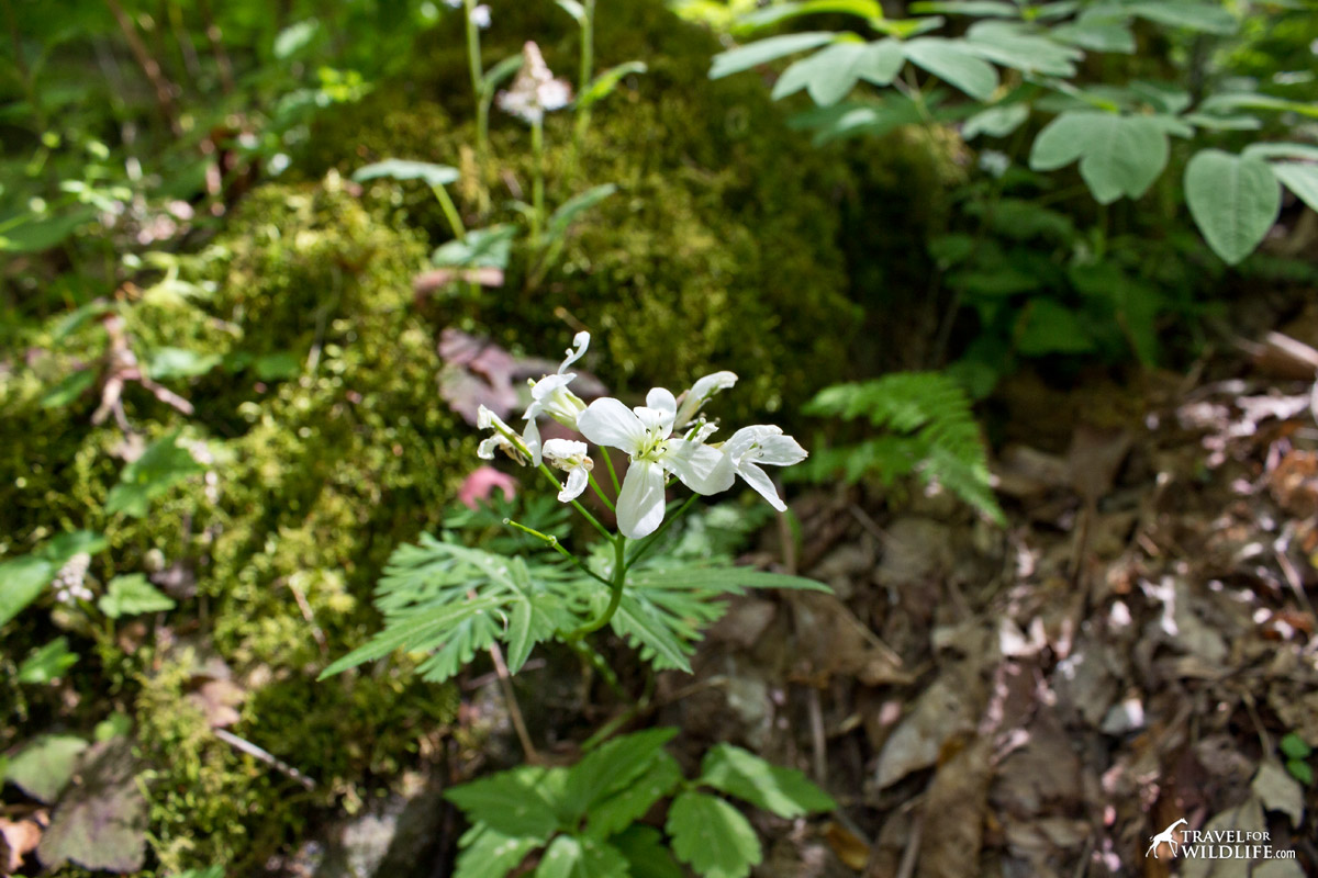 You can find Cut-leaved Toothwort at the Hardcove Trail