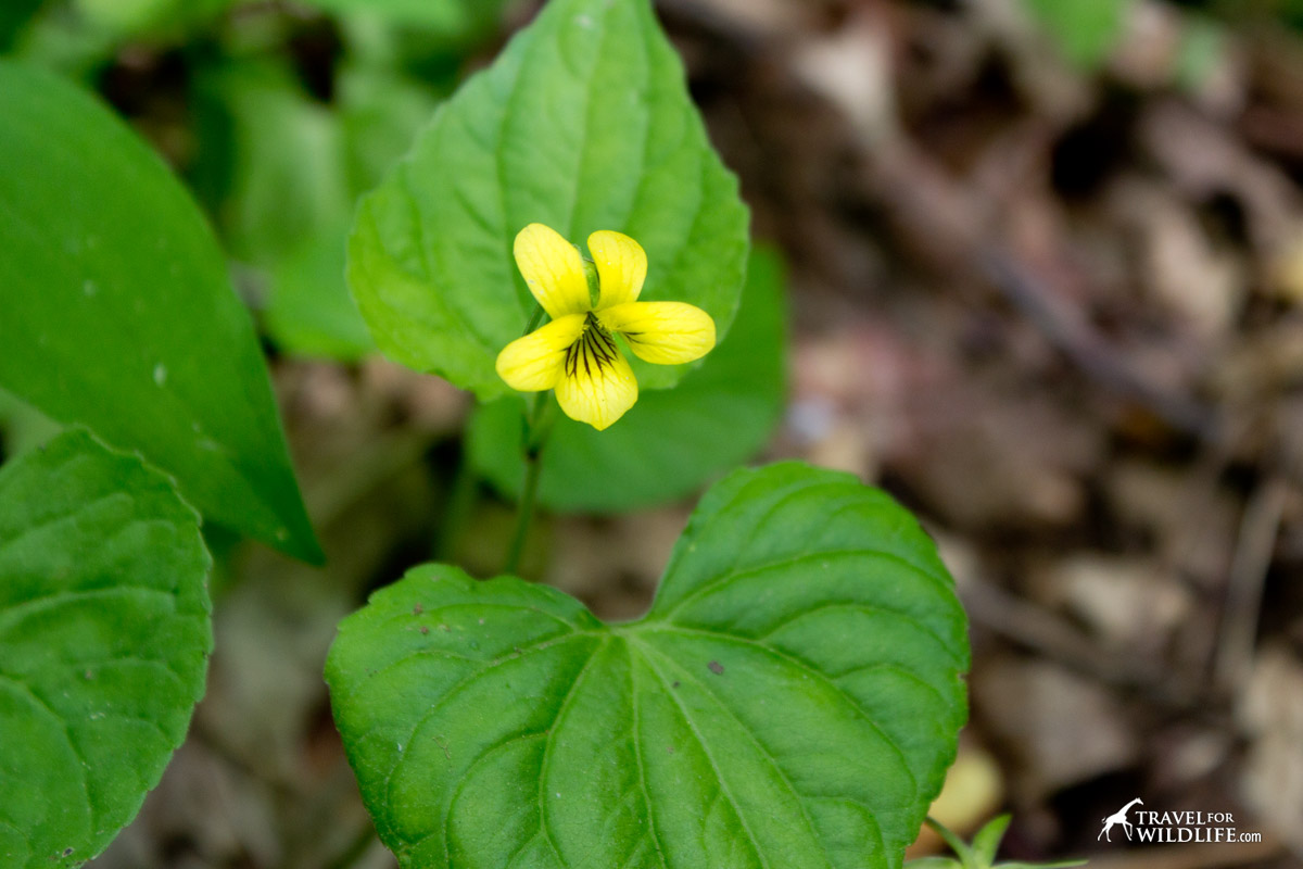 Smooth Yellow Violet is a spring flower that bloom in April in the Smokies