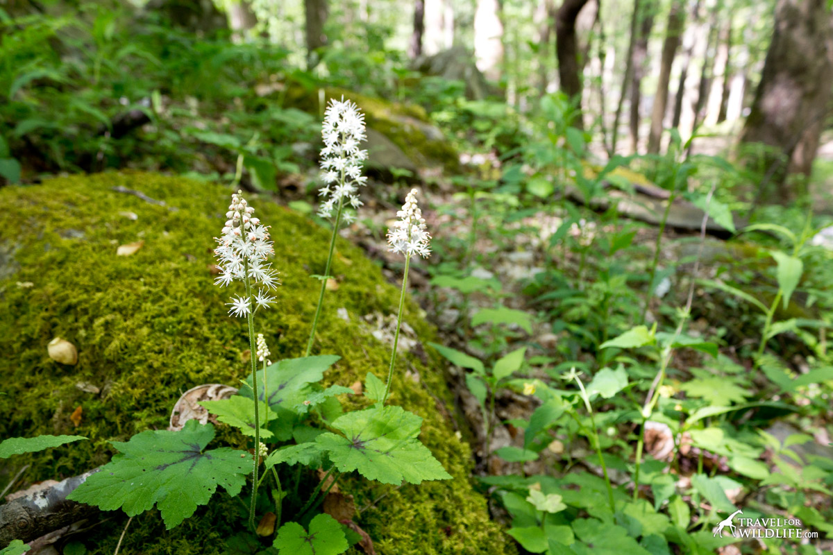 The foamflower in bloom by a mossy rock