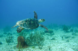 hawksbill sea turtle underwater