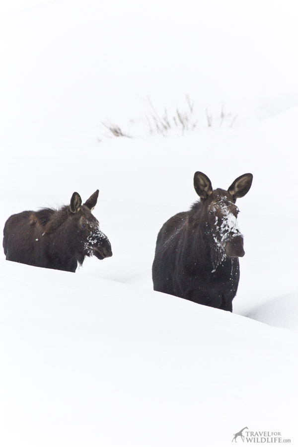 Moose and calf on a snowy creek