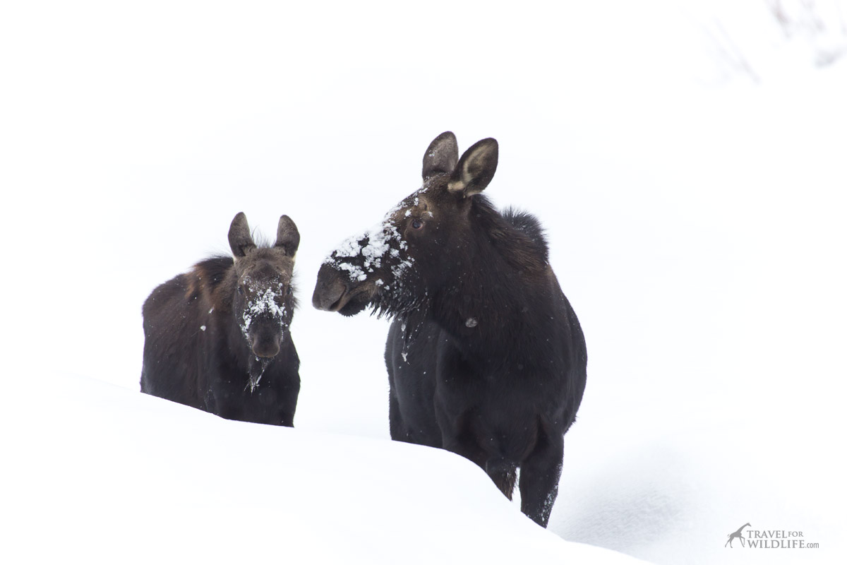 A mother moose and her calf on the snow