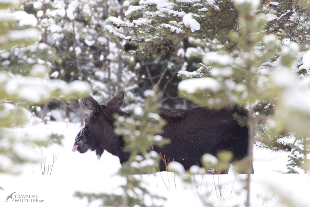 Moose standing in the snowy woods