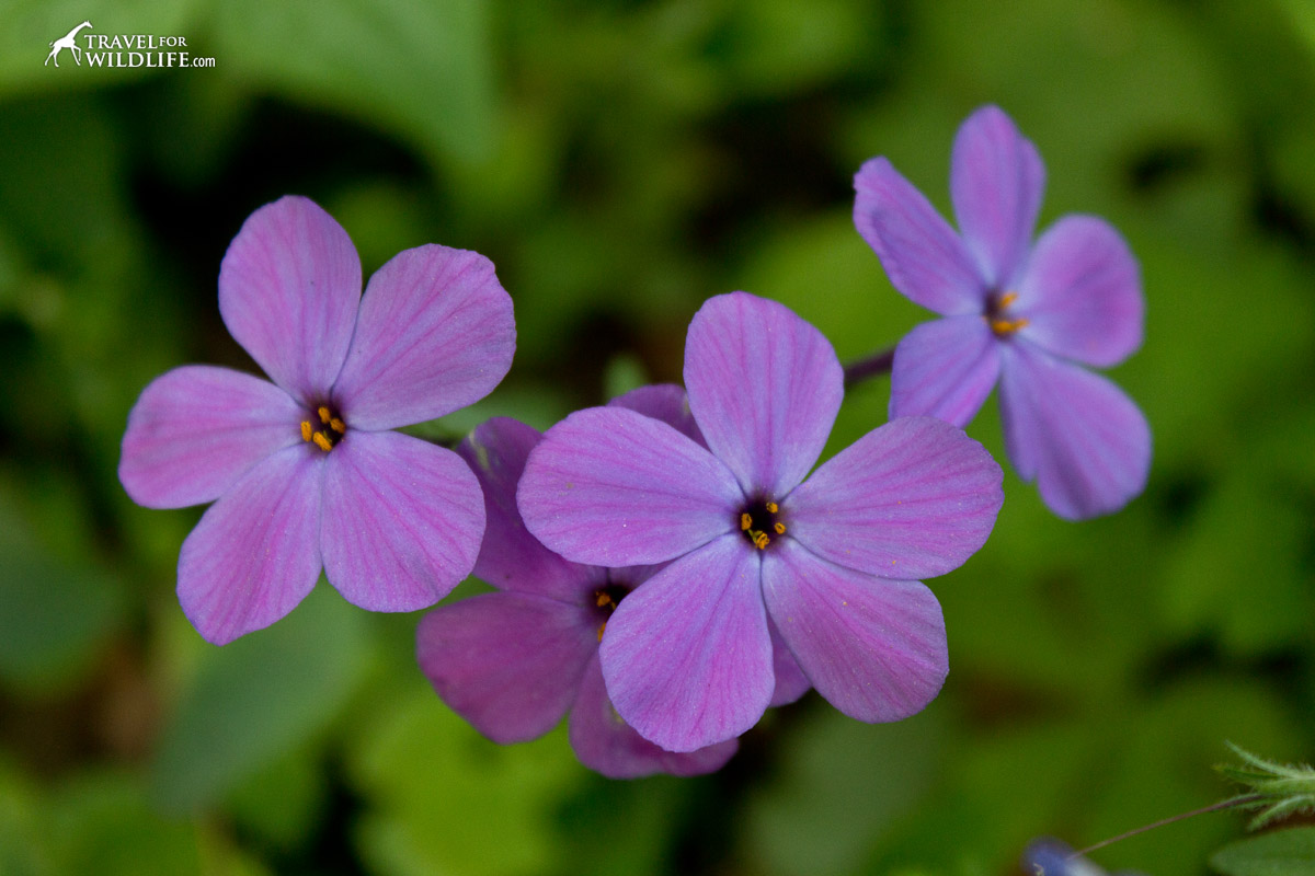 Phlox is found in the Smokies