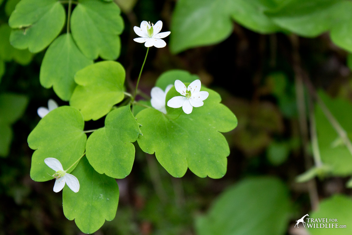 Rue-anemone in bloom