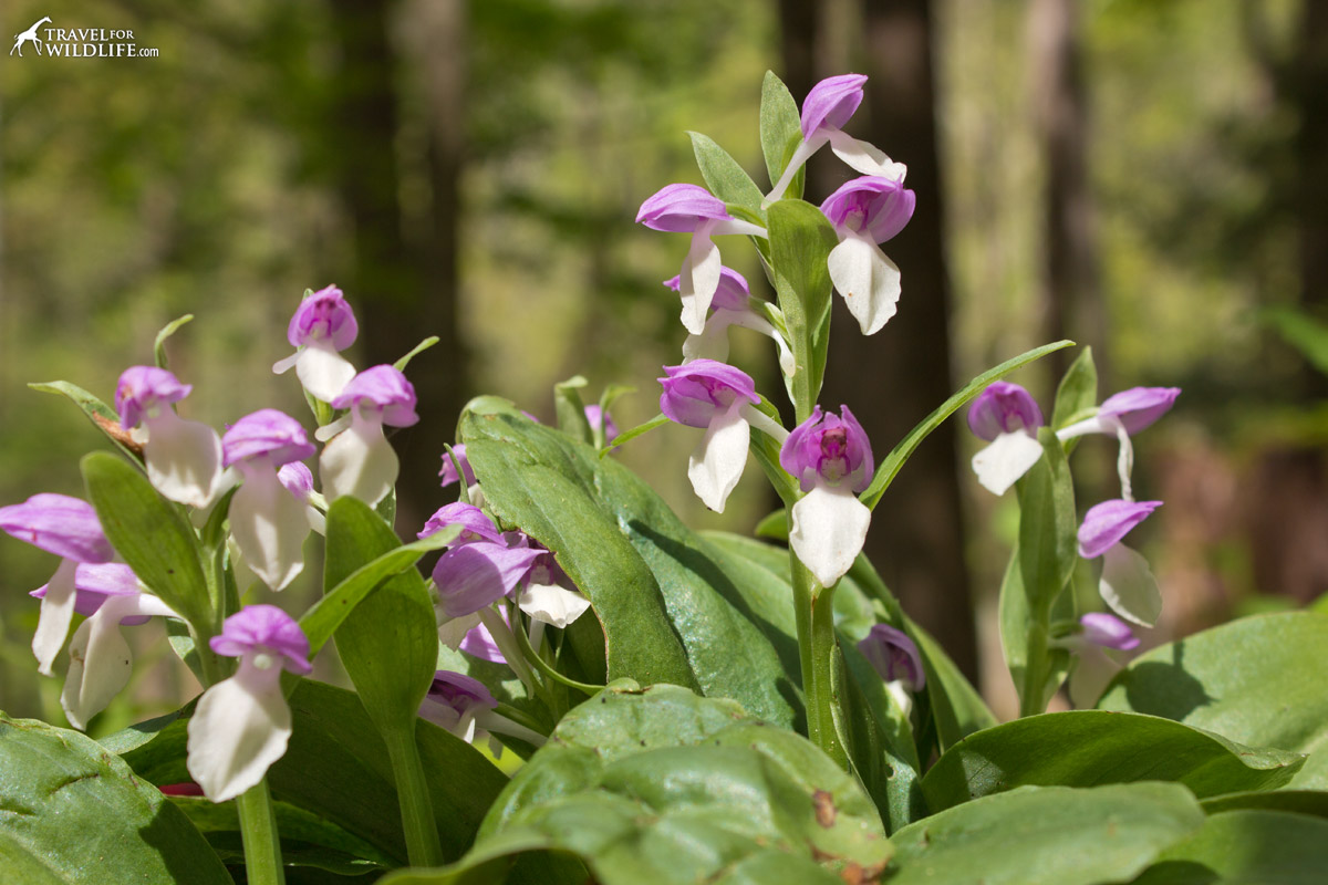 The Showy Orchis grows in clumps