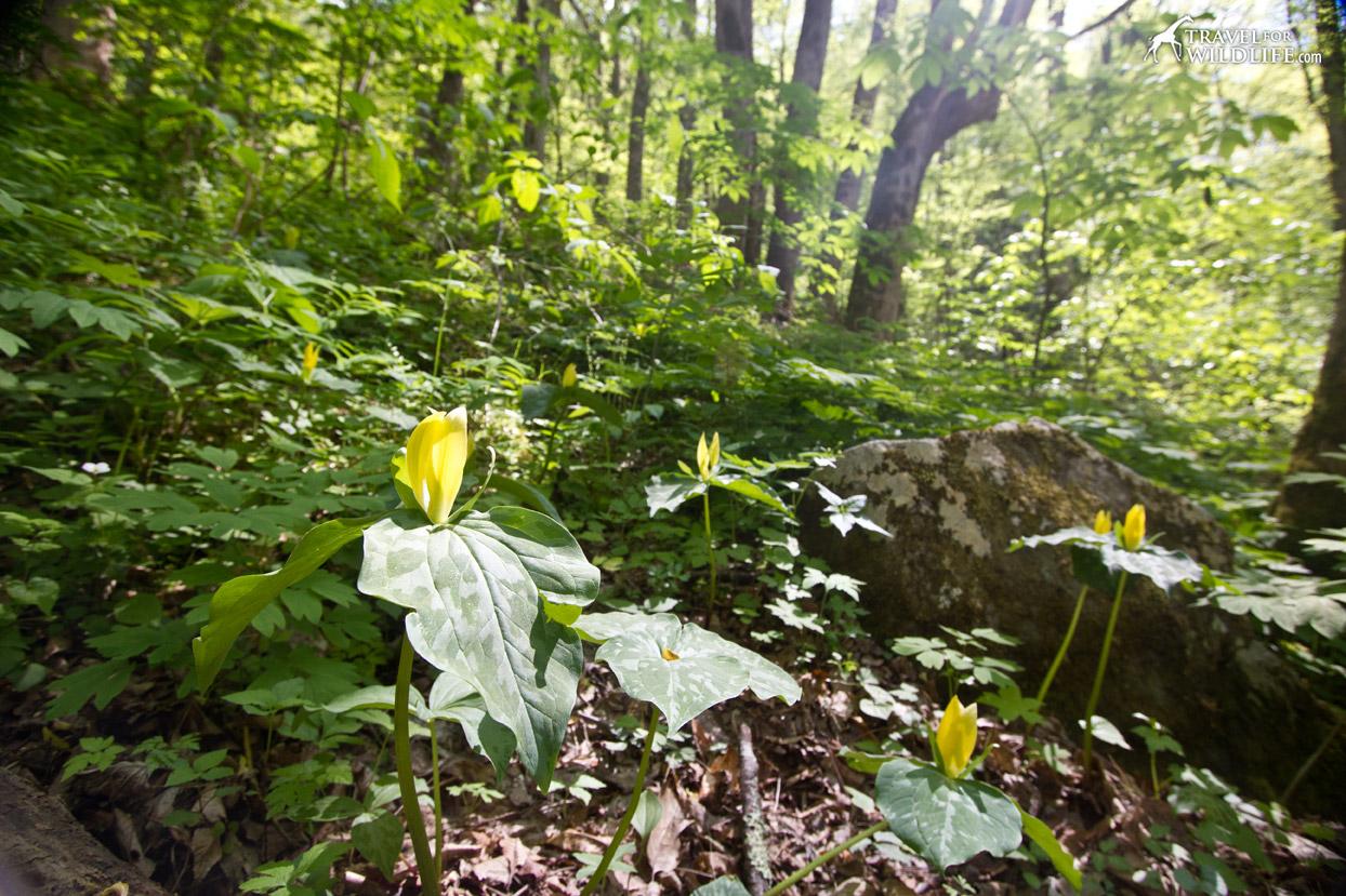 Yellow Trillium (Trillium luteum) in bloom