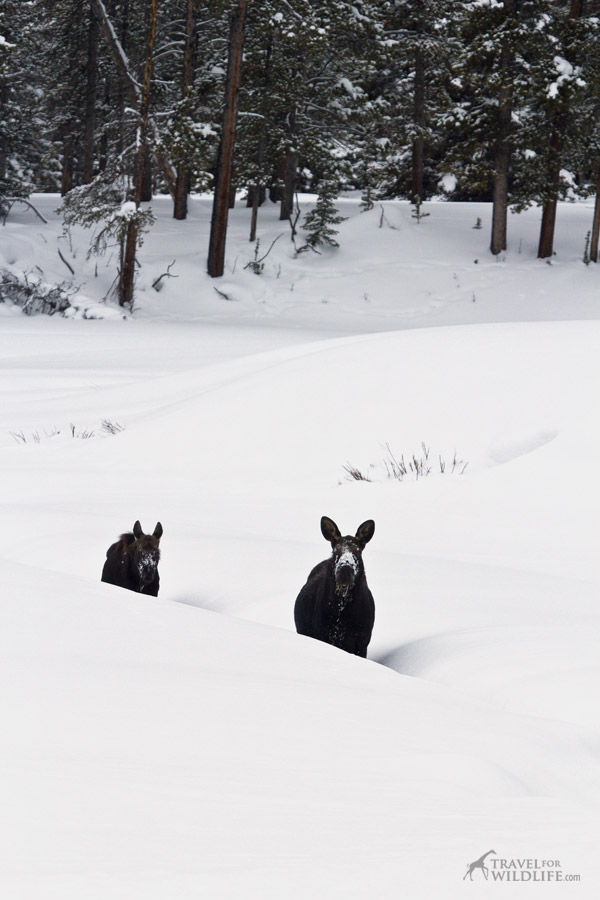 Two moose walking on a snowy creek