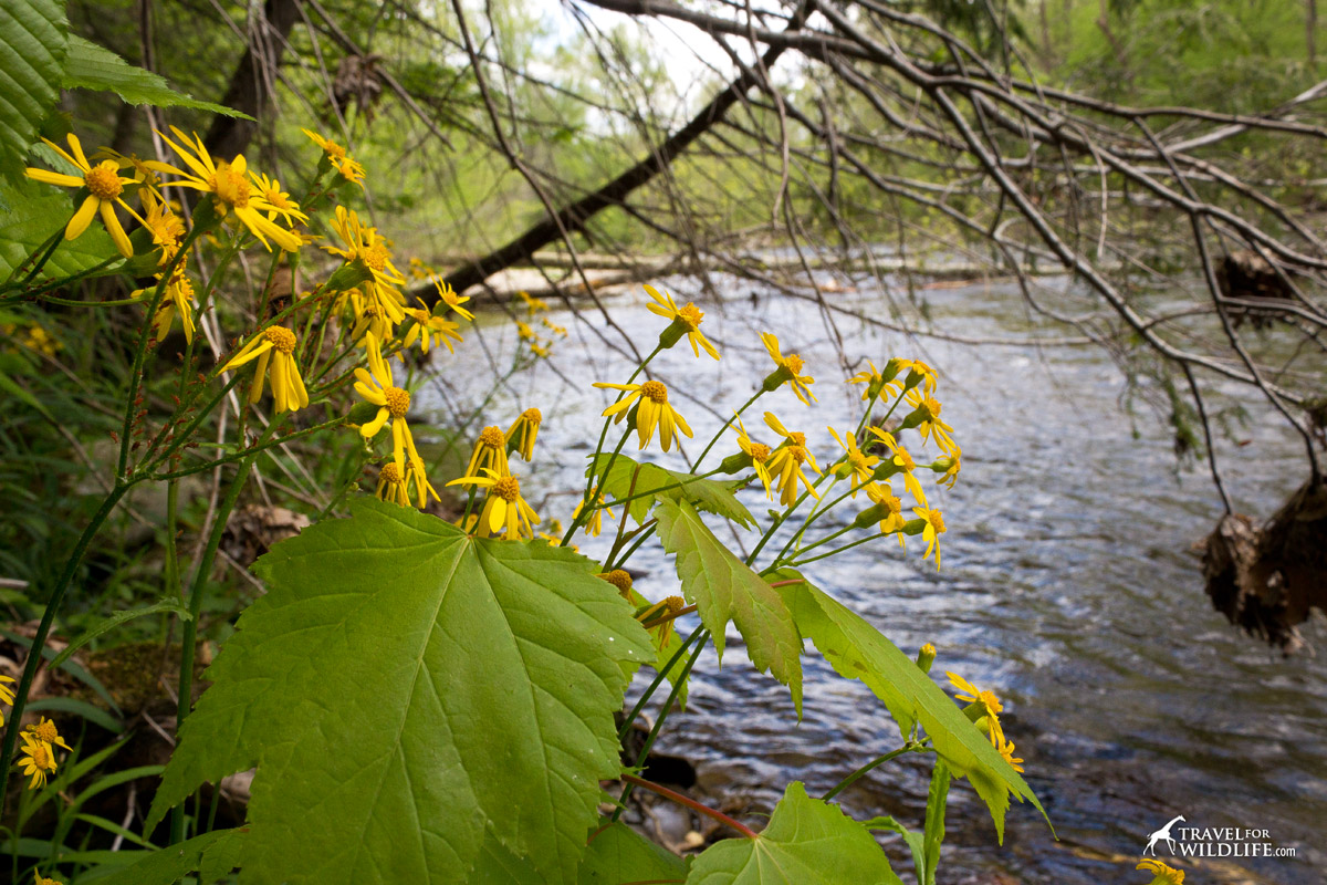 Yellows wildflowers along a river in the Smokies