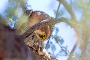 Red-necked Falcon at Lesholoago Pan, Mabuasehube, Kgalagadi Transfrontier Park, Botswana