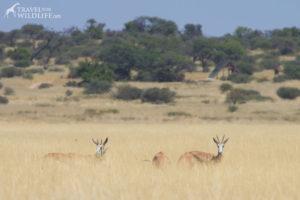Springbok in Lesholoago Pan, Mabuasehube Reserve, Kgalagadi Transfrontier Park, Botswana