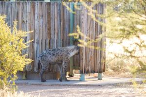 Hyena in shower at Mabuasehube, Botswana