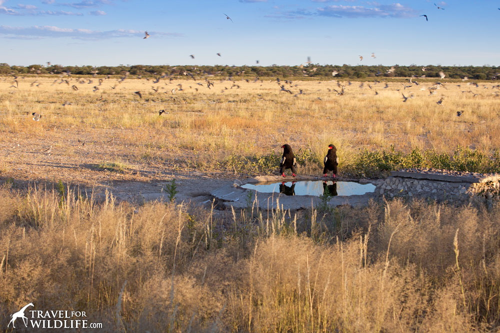 Bateleur eagles at Monamodi water hole in Mabuasehube, Kgalagadi Transfrontier Park, Botswana