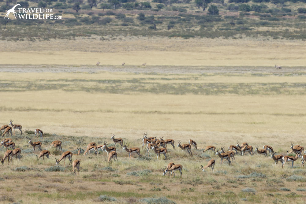 springbok in Mpaya Pan, Mabuasehube, Kalahari camping in Botswana
