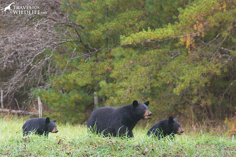 black bear in cades cove, smoky mountains