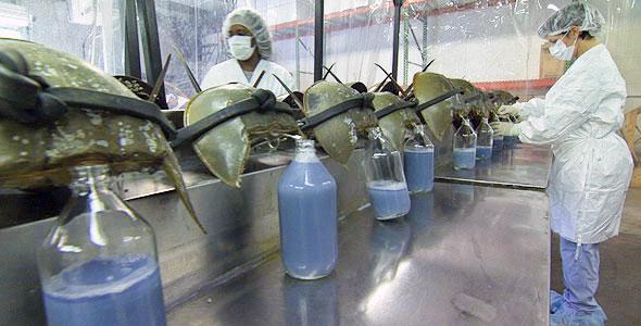 horseshoe crab blood harvesting