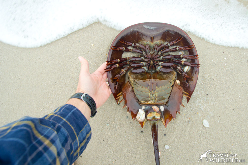 How to flip a horseshoe crab, Delaware Bay