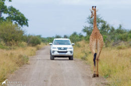 Giraffe in the road in Kruger National Park