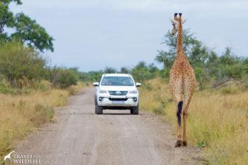 Giraffe in the road in Kruger National Park