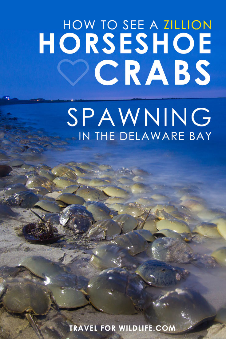 Want to witness one of the great wildlife spectacles of the world? Here's everything you need to know to see the Horseshoe Crabs spawning in the Delaware Bay!