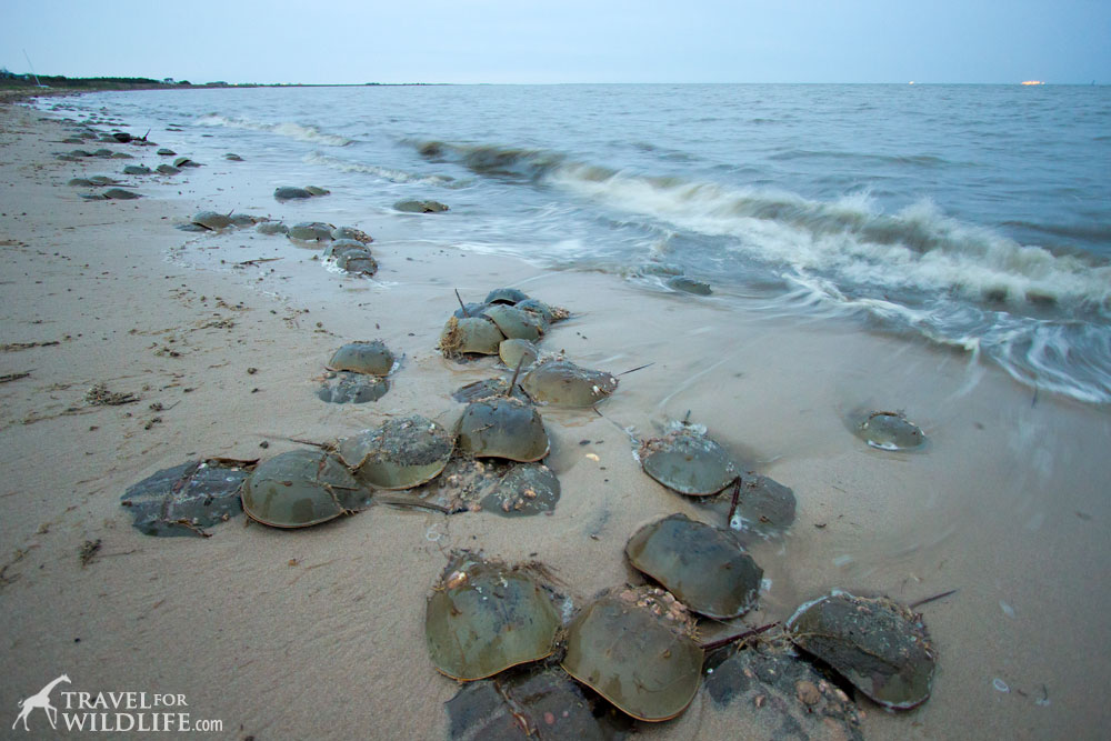 Horseshoe crabs mating Delaware Bay, Slaughter Beach DE