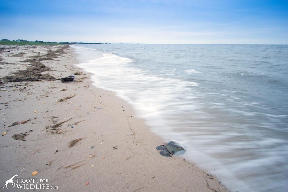 Horseshoe crabs mating on Slaughter Beach, DE. Delaware Bay