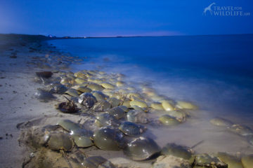 horseshoe crabs mating at high tide in the Delaware Bay, Slaughter Beach, DE