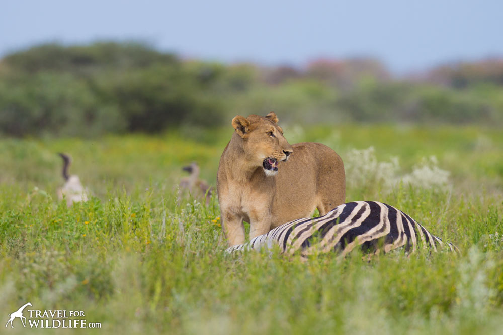 What Do Lions Eat You Might Be Surprised