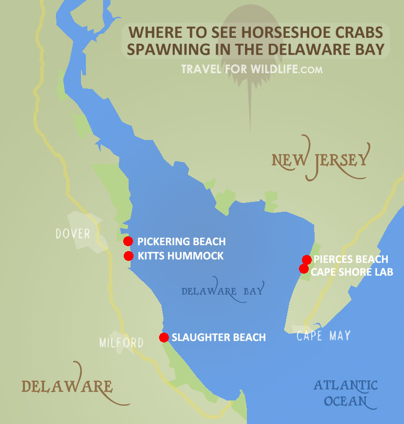 map of best beaches to see horseshoe crabs mating in Delaware Bay