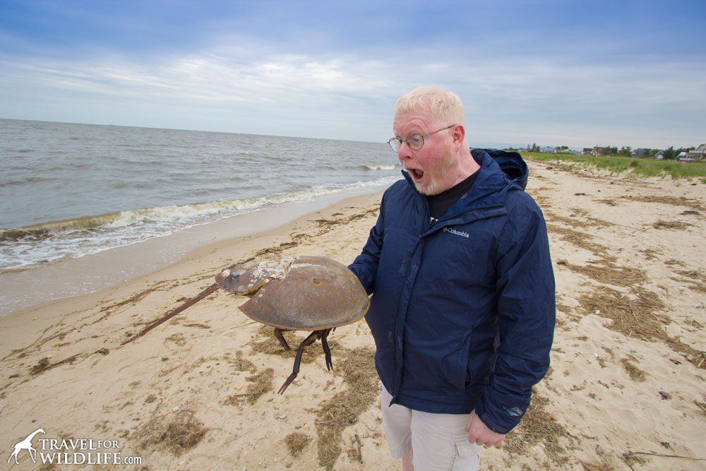 Holding a huge dead horseshoe crab shell on Slaughter Beach, Delaware