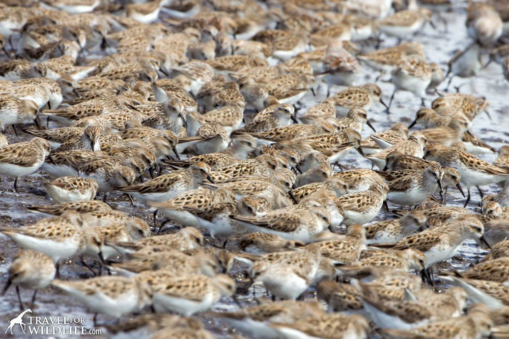 shorebirds feeding on horseshoe crab eggs, Slaughter Beach, DE, Delaware Bay