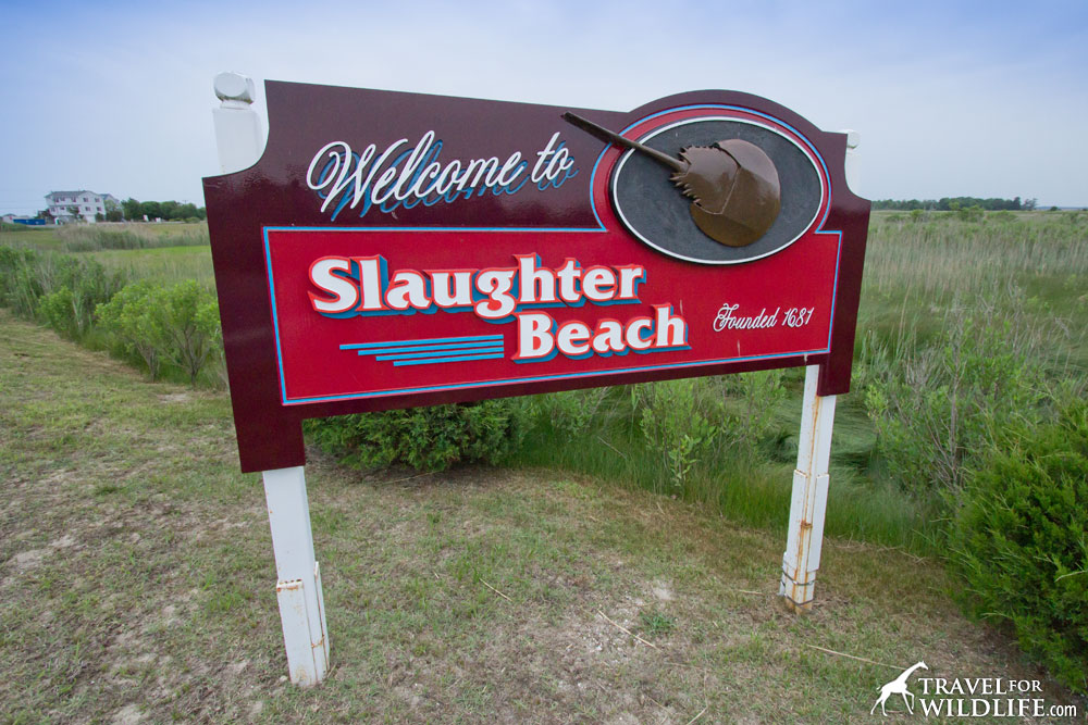 Sign for the town of Slaughter Beach, Delaware with horseshoe crab