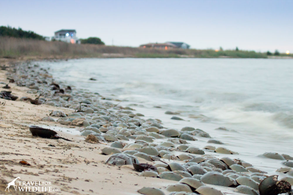 spawning horseshoe crabs on a beach
