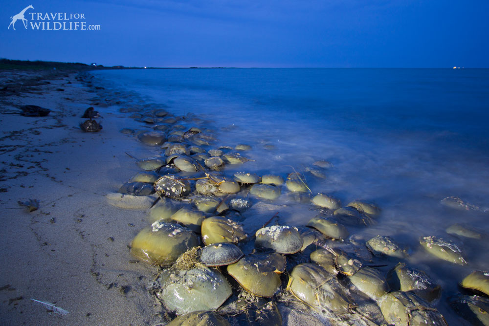 Horseshoe crabs in Delaware