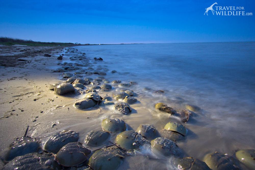 Horseshoe crabs in Delaware, Slaughter Beach, DE