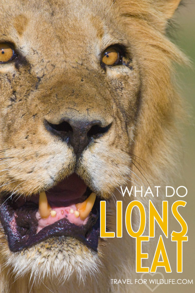 What do lions eat? Anything from mice to elephants and everything in between! Find out the lion's six favorite foods and some of the crazier things they've been known to eat!