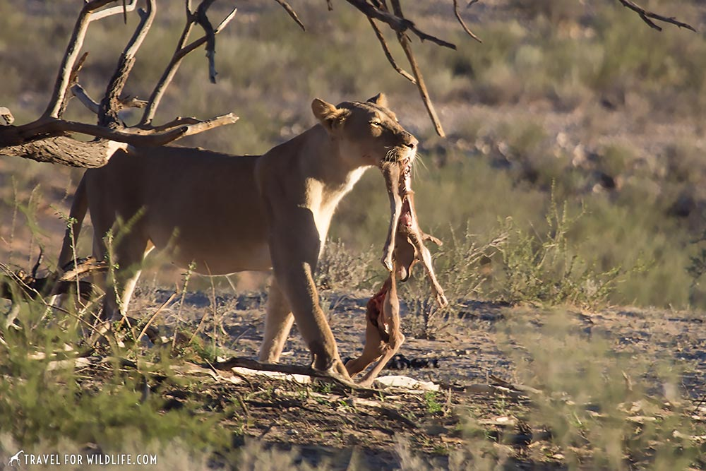 What do lions eat? Here a lioness eats a baby gemsbok calf.